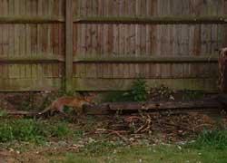 foxcub1.jpg